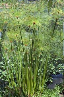 Papyrus 'vrai' dans un bassin
