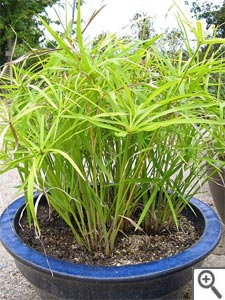 Papyrus : variétés, plantation, multiplication