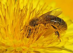 Abeille assurant la pollinisation d'une fleur de pissenlit