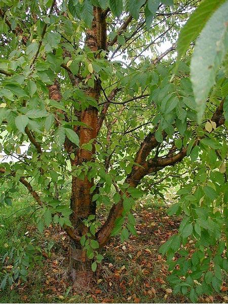 S lection d 39 arbres adapt s un petit jardin - Quel arbre pour petit jardin ...