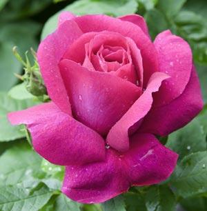 Rose Caprice de Meilland