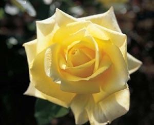 Meilland : les plus beaux rosiers