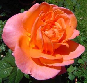 Rose René Goscinny