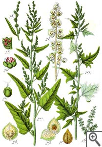 Arroche : planche botanique