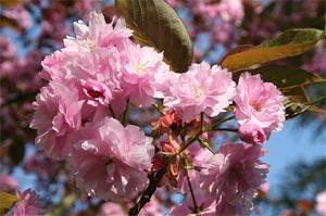 Cerisiers à fleurs - prunus d'ornement