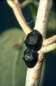 Cochenille noire de l'olivier