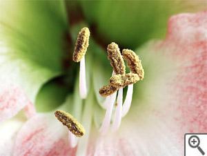 Etamines d'amaryllis