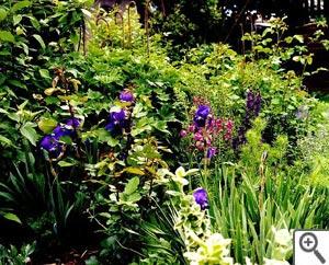 L'iris, bonheur du printemps