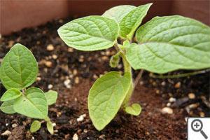 Semis de coqueret du Pérou