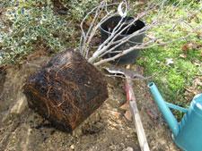 Plantation d'un arbuste en conteneur
