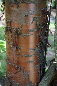Ecorce de Prunus maackii