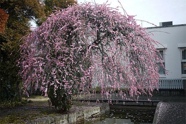 cerisiers fleurs prunus d 39 ornement. Black Bedroom Furniture Sets. Home Design Ideas