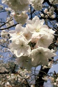 Prunus serrulata taihaku