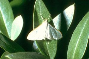 Maladies de l olivier latest les maladies de luolivier - Maladie de l olivier en pot ...
