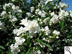 Seringat en fleurs