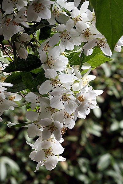 Цветок петуния выращивание уход размножение Сорта