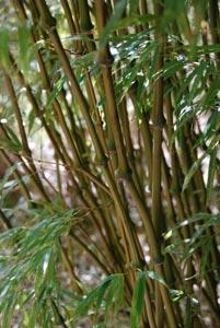 Bambouseraie d'Anduze : bambou aplati
