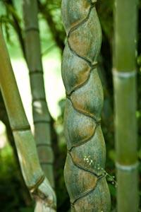 Bambouseraie d'Anduze : bambou Kikko