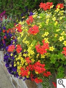 Bidens : composition en jardinière