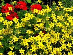 Bidens, de l'or en fleurs !
