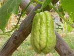 Chayote : plantation et culture