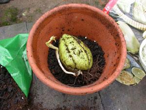 Chayote en pot