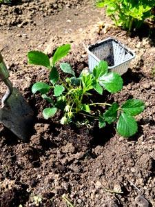 Plantation d'un fraisier