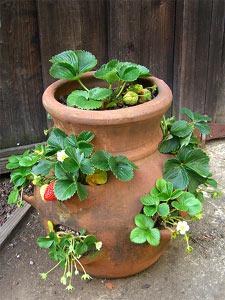 fraisiers conseils pour bien les planter au printemps. Black Bedroom Furniture Sets. Home Design Ideas