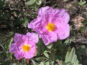 Hélianthème (fleurs)