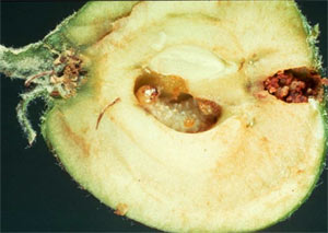 Hoplocampa testudinea - La pomme a été coupée en 2 pour montrer la fausse-chenille en train de s'alimenter au centre du fruit.