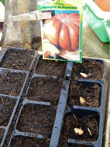 Semis de légumes en godets