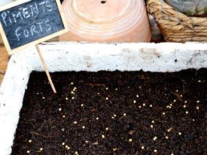 Semis en caissette pour serre