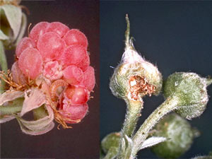 Byturus urbanus - Framboise attaquée par une larve qui ronge la base des drupes - Morsures d'adulte sur bouton de framboisier