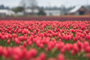 Le bouquet de fleurs, un cadeau empoisonné... pour la planète