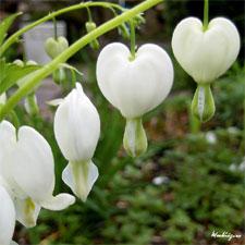 Coeur de Marie blanc (Alba)