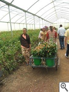 Cueillette des roses en Ethiopie