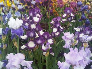 Pleine floraison des iris chez Cayeux