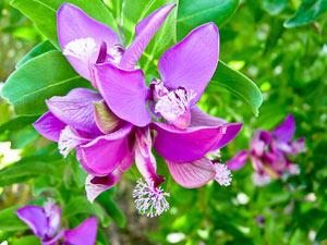Polygala myrtifolia : fleur