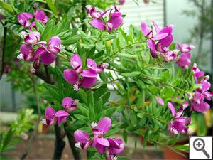 Polygala myrtifolia : arbuste