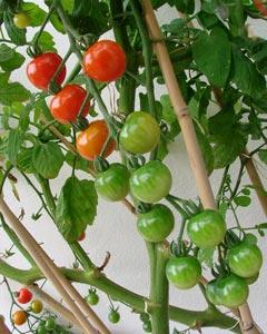 Tuteurs à tomates en bambous