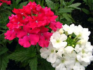 Verveines fleurs