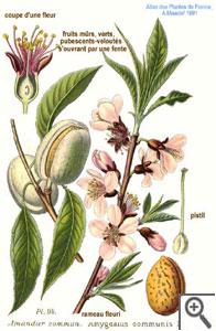 Amandier : planche botanique