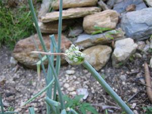 Comment empecher les oignons de monter a graine la r ponse est sur - Comment planter des oignons ...