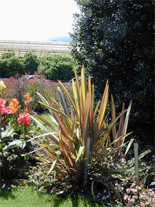 Phormium en massif fleuri