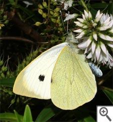 Piéride du chou : papillon