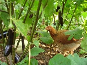 Poule au potager