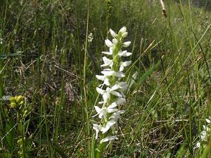 Orchidée sauvage dans une tourbière