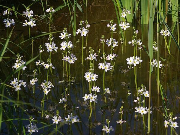 Plantes Oxygenantes Pour Bassin