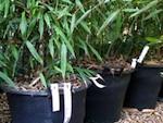 Acheter un bambou