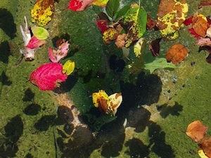 Feuilles mortes dans un bassin